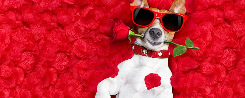 dog wearing sunglasses lying in red flowers